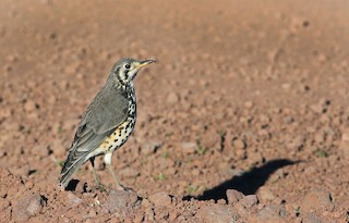 - Groundscraper Thrush