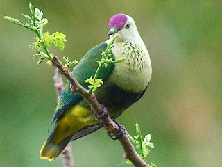 - Purple-capped Fruit-Dove
