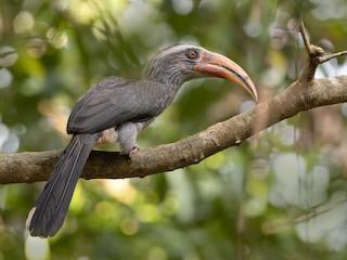 - Malabar Gray Hornbill