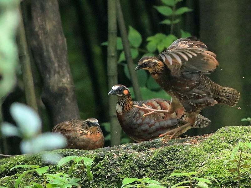 Sichuan Partridge - Qiang Zeng