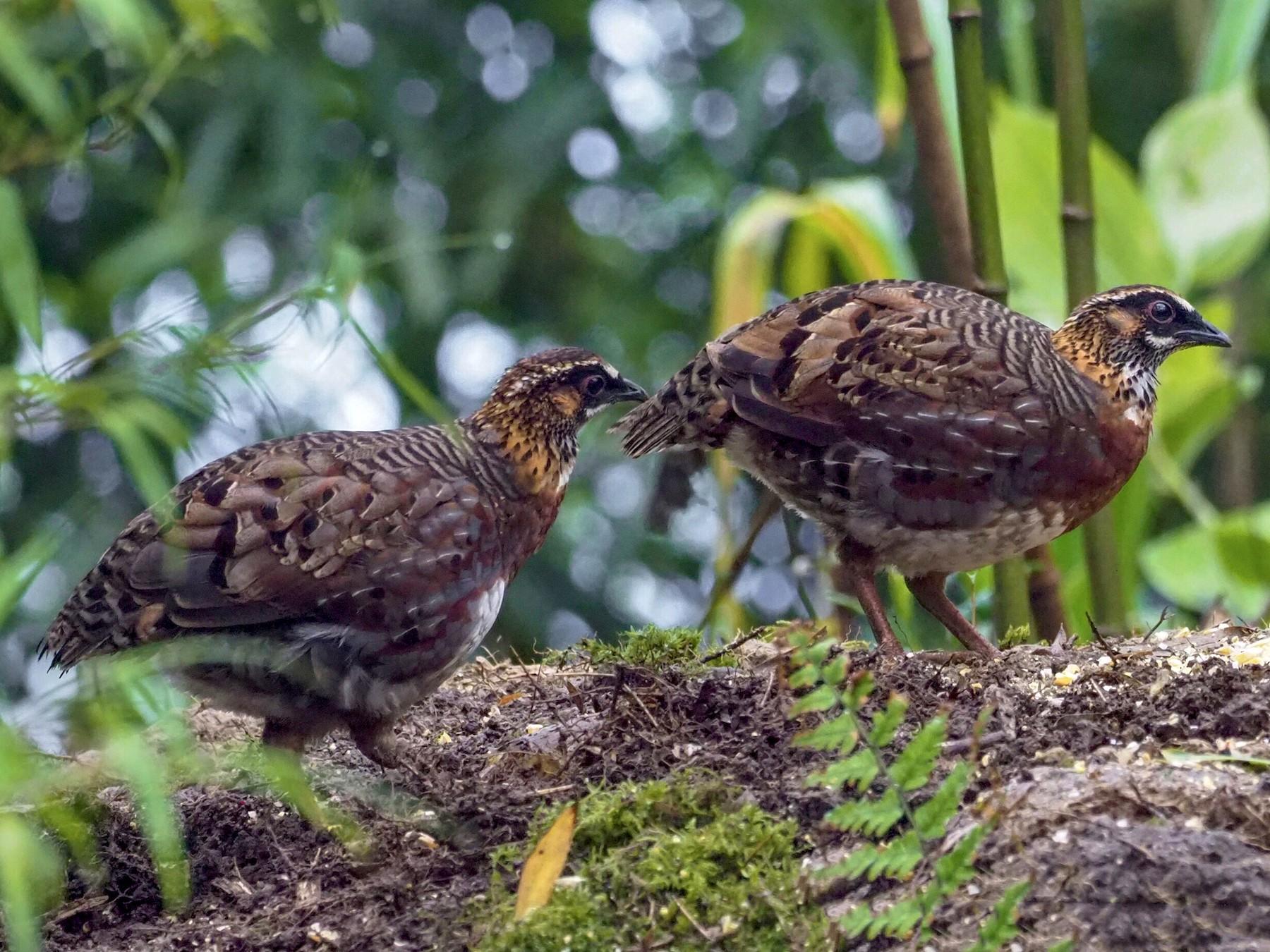 Sichuan Partridge - Summer Wong