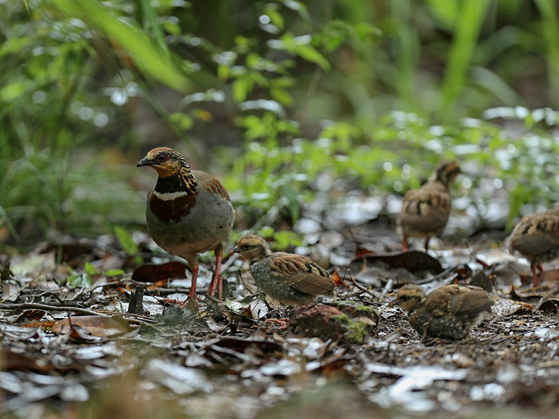 White-necklaced Partridge - Qiang Zeng