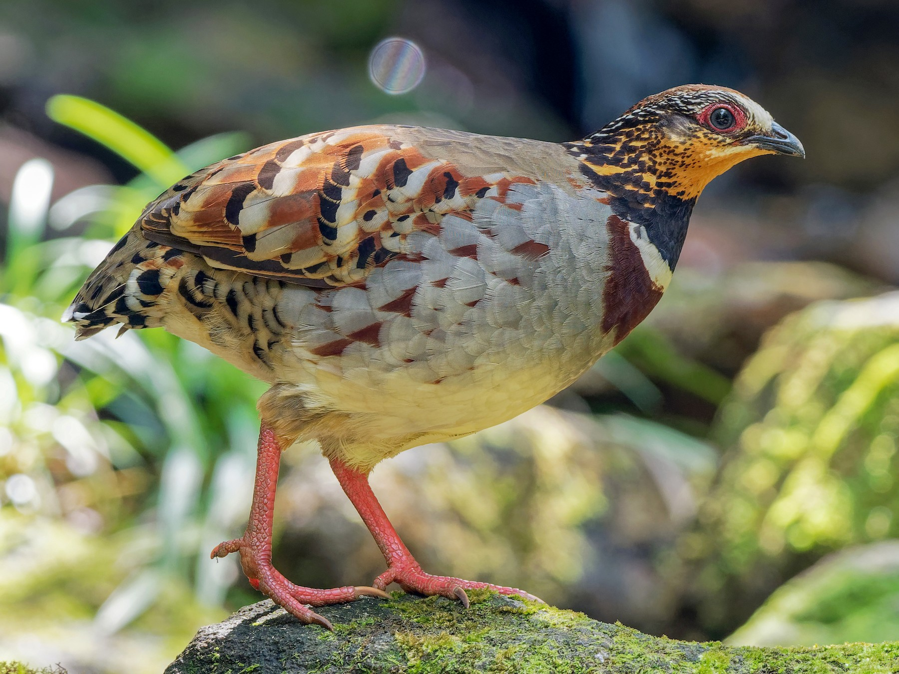 White-necklaced Partridge - Vincent Wang