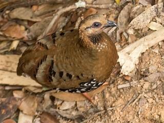 - Chestnut-headed Partridge (Siamese)