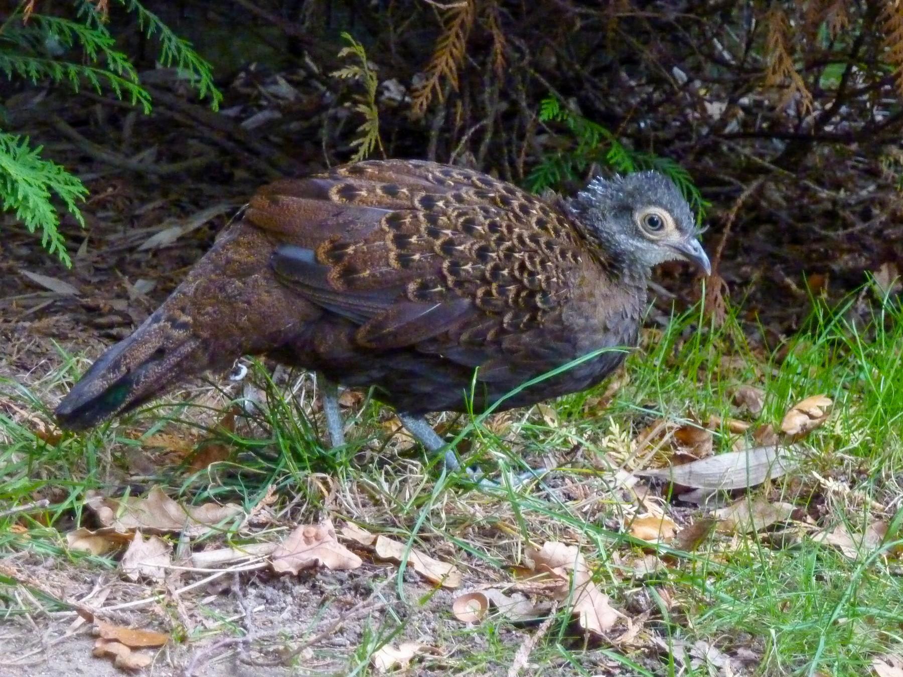 Bornean Peacock-Pheasant - John Corder