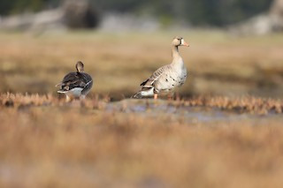 Greater White-fronted Goose, ML336945721