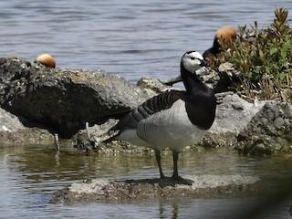 Barnacle Goose, ML337068151