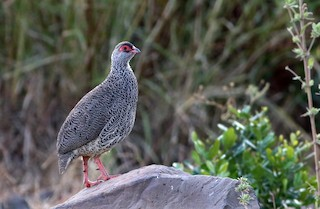 - Harwood's Francolin