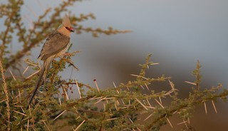 - Blue-naped Mousebird