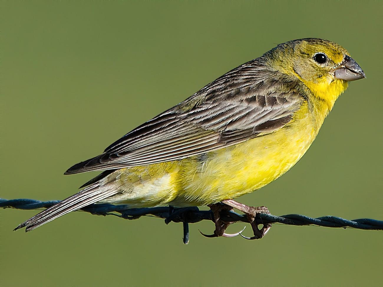 Grassland Yellow-Finch - LUCIANO BERNARDES