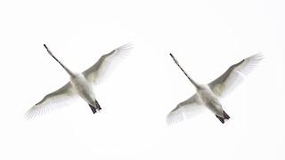 Mute Swan, ML337426521