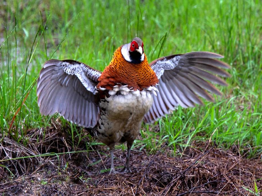 Elliot's Pheasant - Robert Tizard