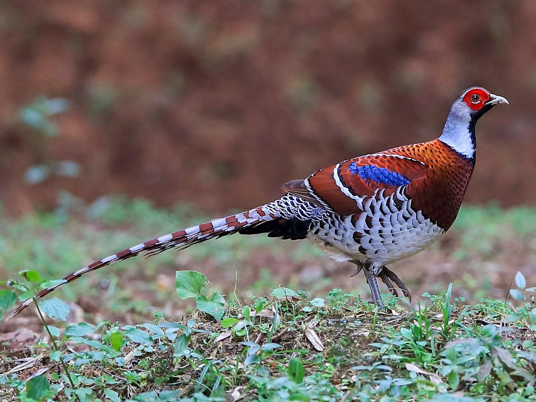 Elliot's Pheasant - Chun Fai LO