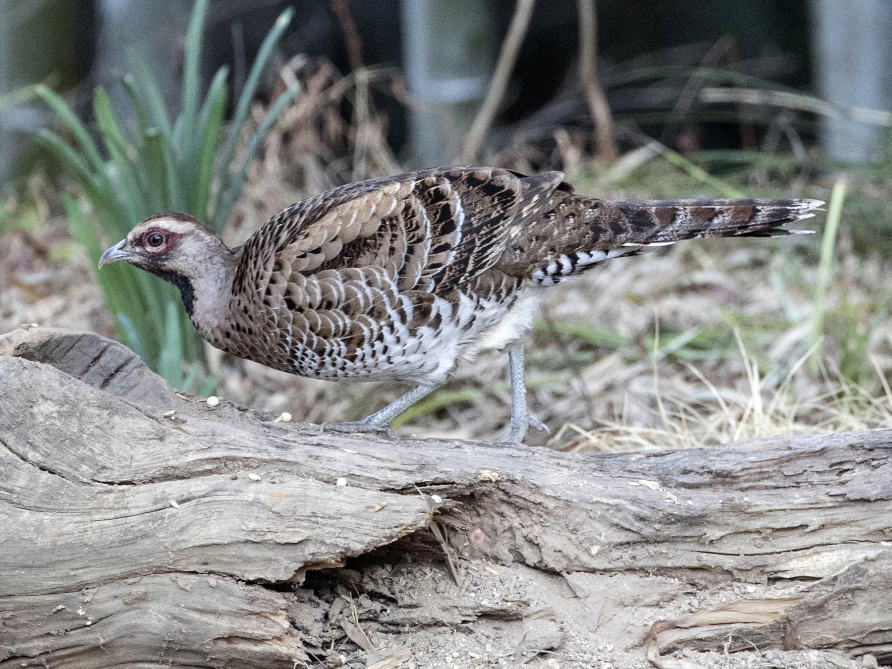 Elliot's Pheasant - Robert Lockett