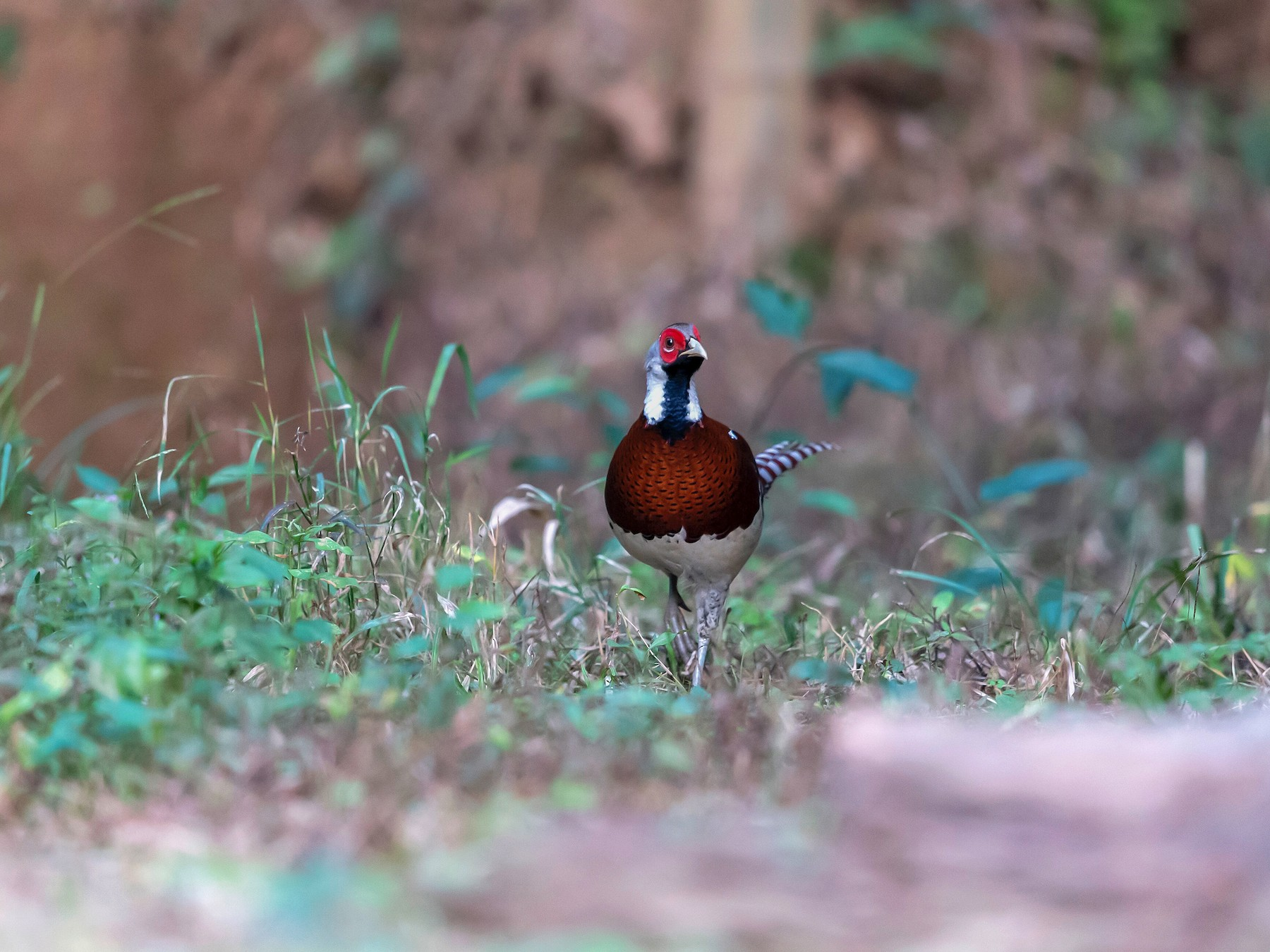 Elliot's Pheasant - Cheng Qian