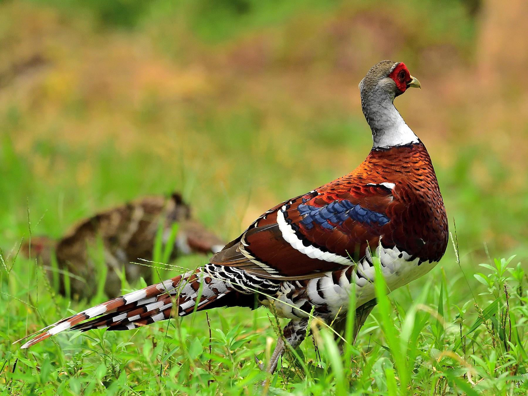 Elliot's Pheasant - xiwen CHEN