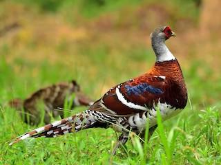 - Elliot's Pheasant