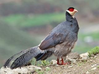 - Tibetan Eared-Pheasant