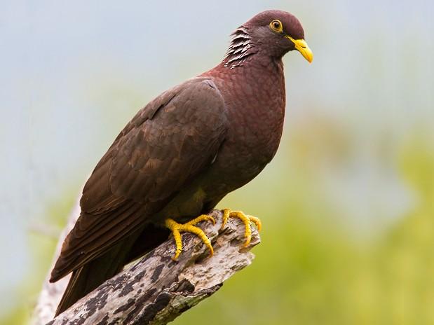 Comoro Pigeon - Dubi Shapiro