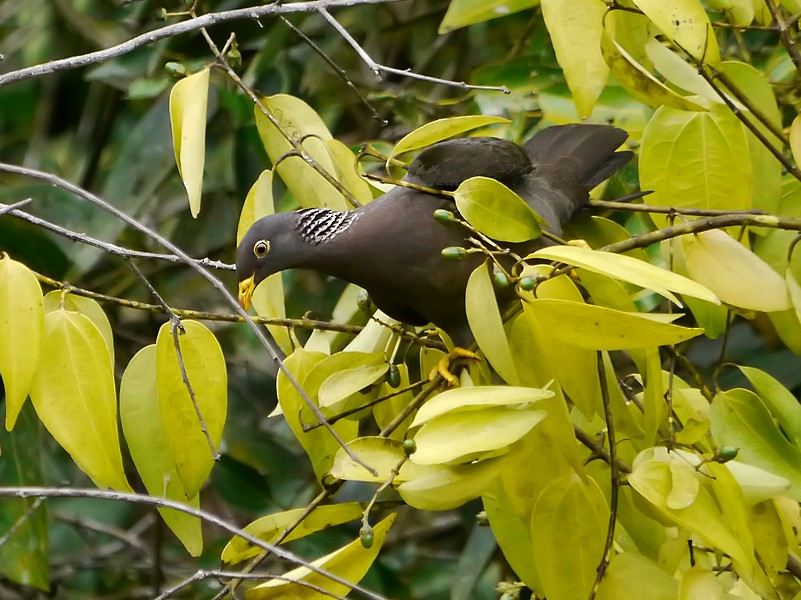 Comoro Pigeon - Nathalie SANTA MARIA