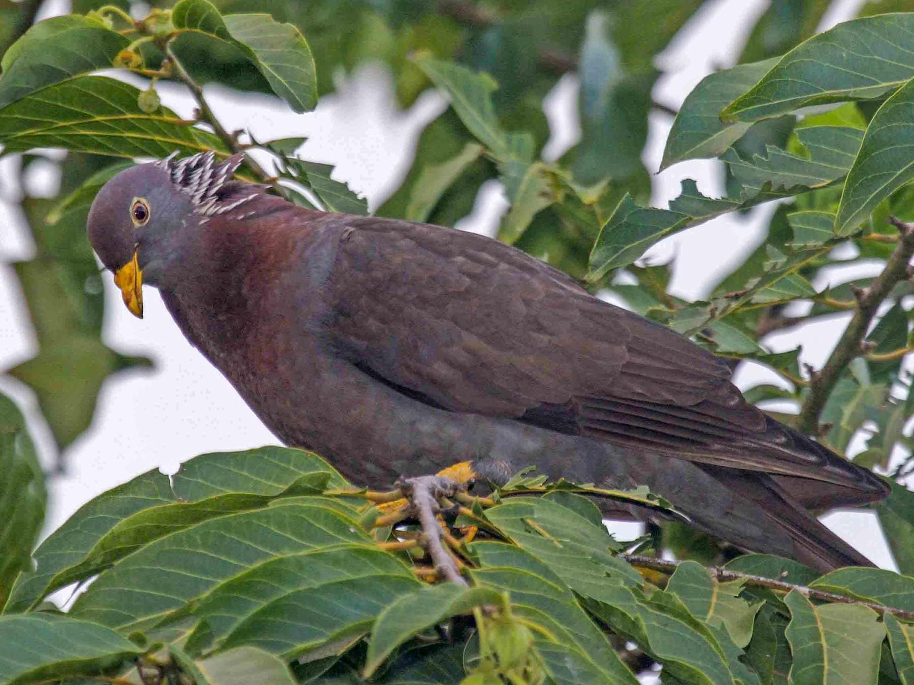 Comoro Pigeon - Pete Morris