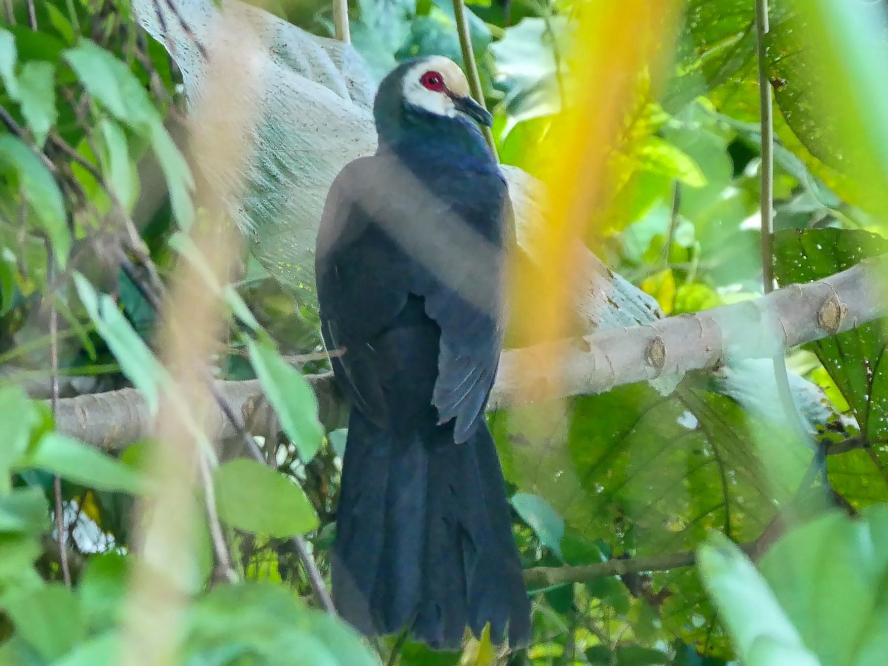 Sula Cuckoo-Dove - Josep del Hoyo