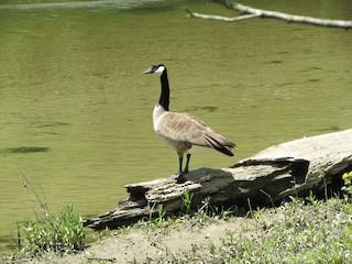 Canada Goose, ML337887101