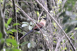 - Black-faced Coucal