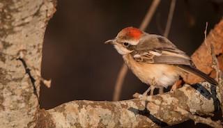 - Red-naped Bushshrike