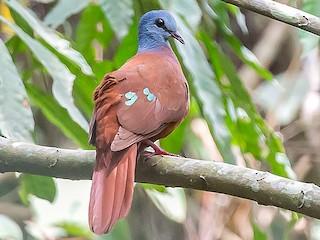 - Blue-headed Wood-Dove
