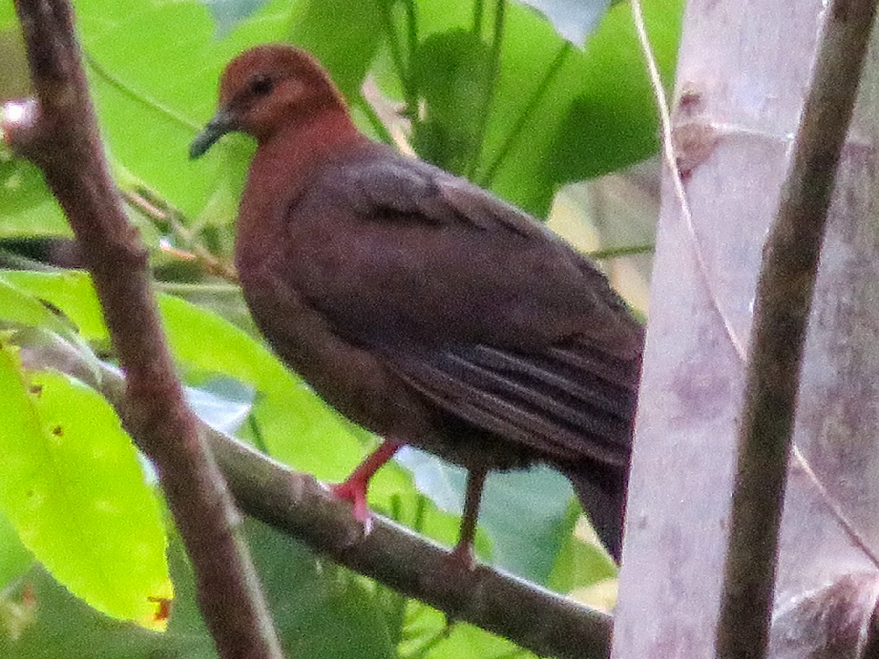 Shy Ground Dove - Carter Crouch