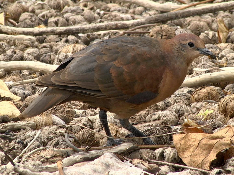 Polynesian Ground Dove - Josep del Hoyo