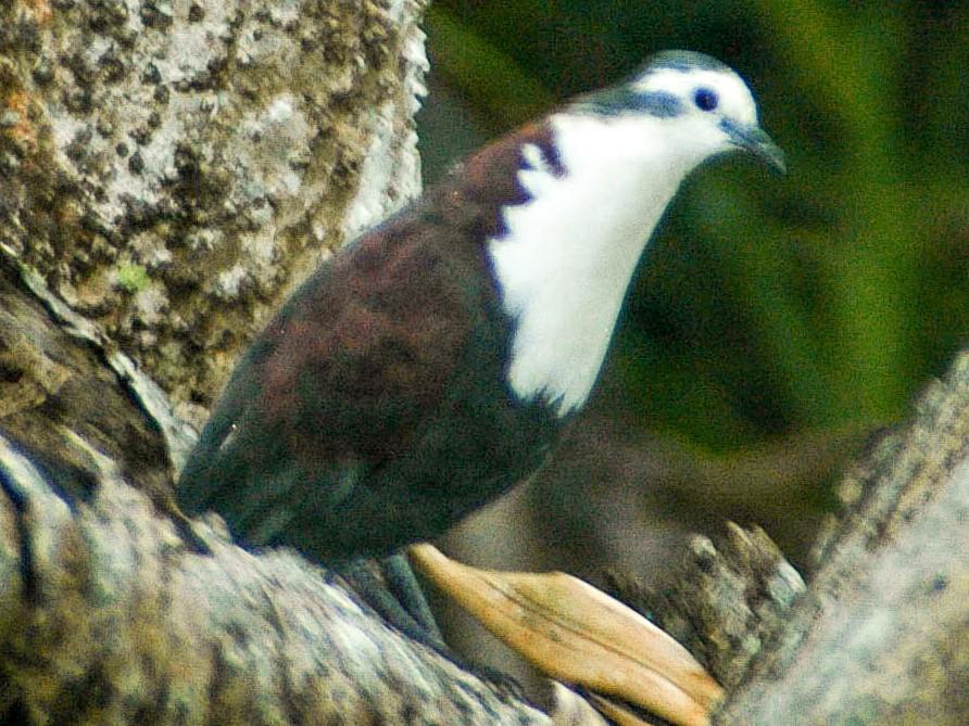 Polynesian Ground Dove - Eric VanderWerf