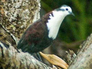 - Polynesian Ground Dove