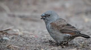 - Swainson's Sparrow