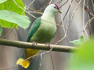 - Kosrae Fruit-Dove