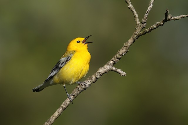 Prothonotary Warbler ML339121501