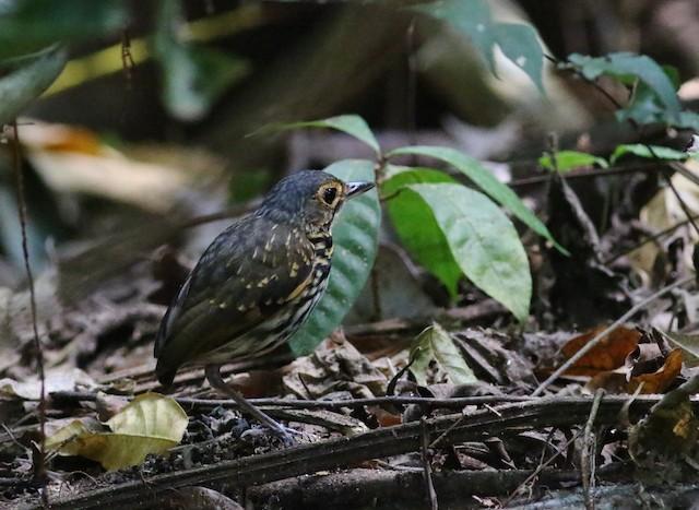 Streak-chested Antpitta (Eastern Panama)