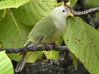 - Atoll Fruit-Dove