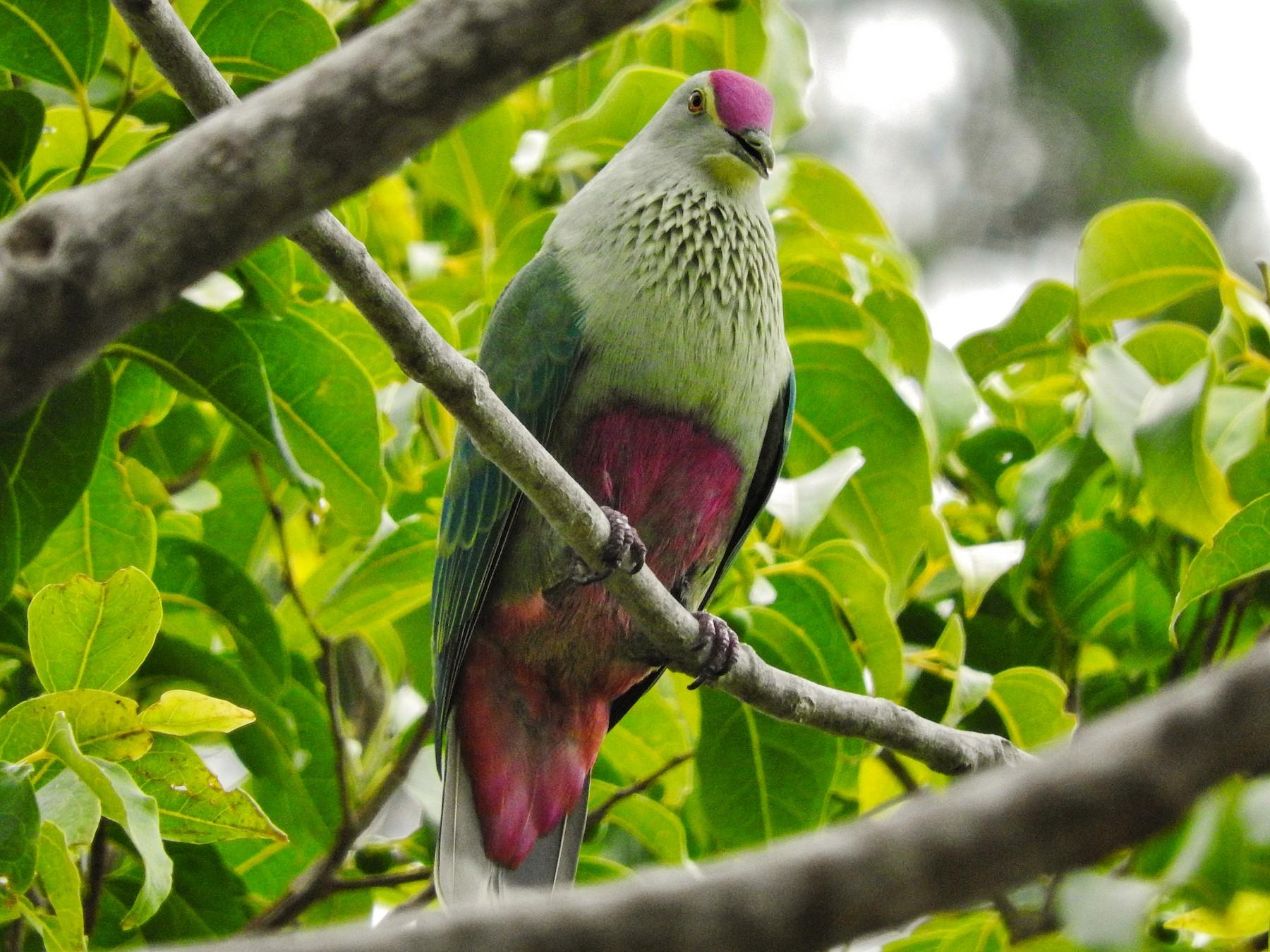 Red-bellied Fruit-Dove - Noam Markus
