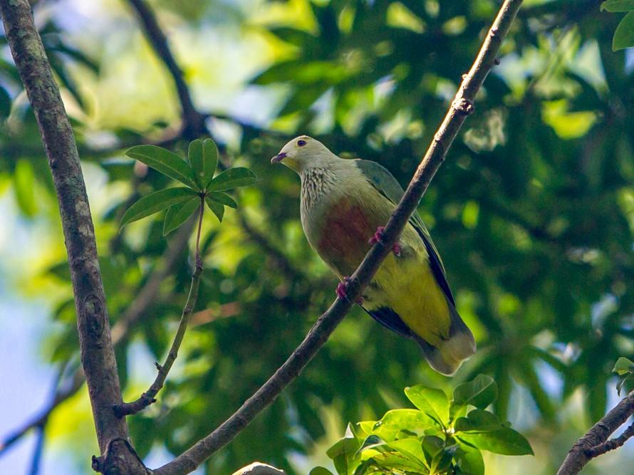 White-capped Fruit-Dove - Mike Greenfelder