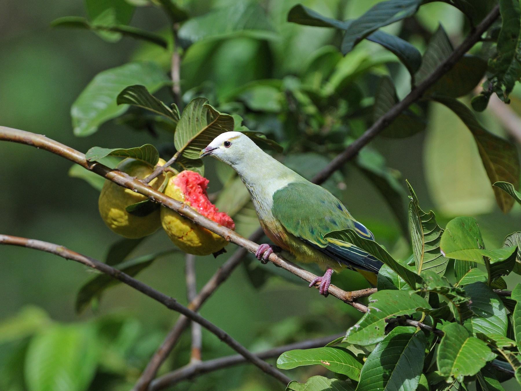 White-capped Fruit-Dove - Peter Odekerken