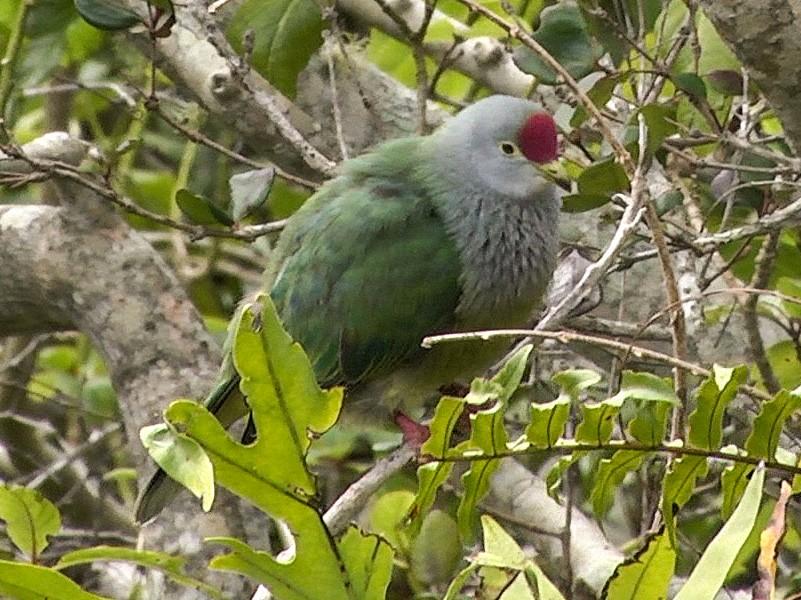 Henderson Island Fruit-Dove - Josep del Hoyo