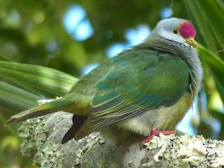 - Henderson Island Fruit-Dove