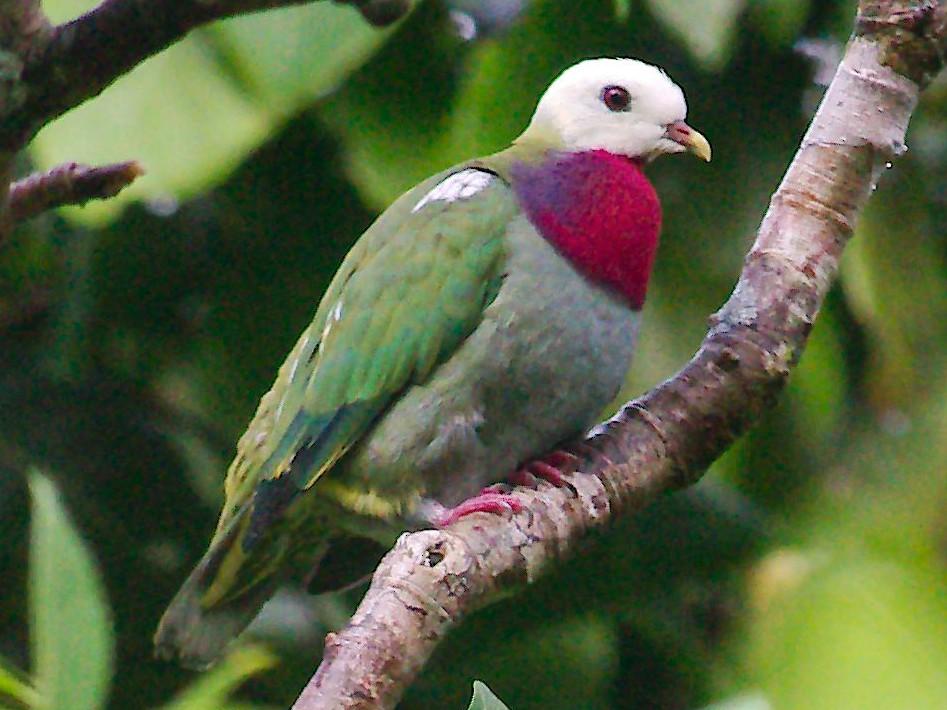 White-headed Fruit-Dove - Keith Cowton