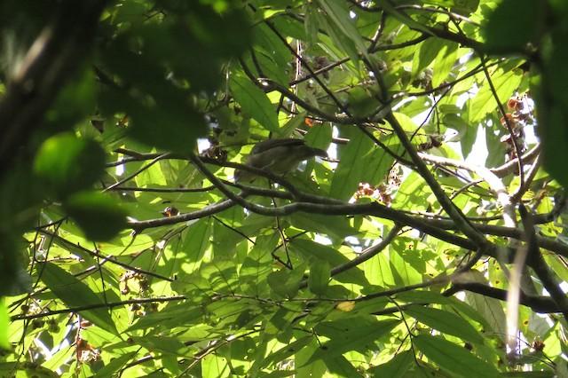Brachypodius/Rubigula/Pycnonotus sp.