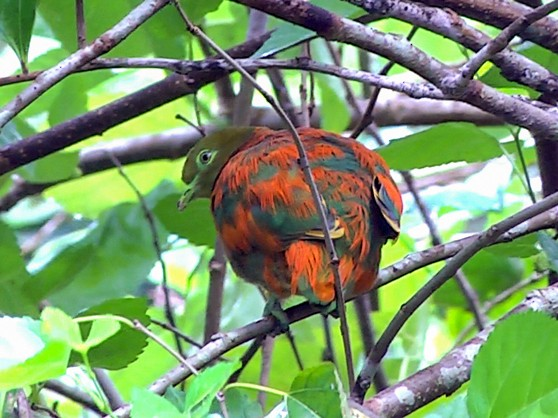 Orange Dove - Josep del Hoyo