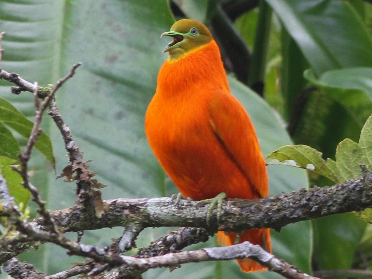 Orange Dove - Chris Wiley