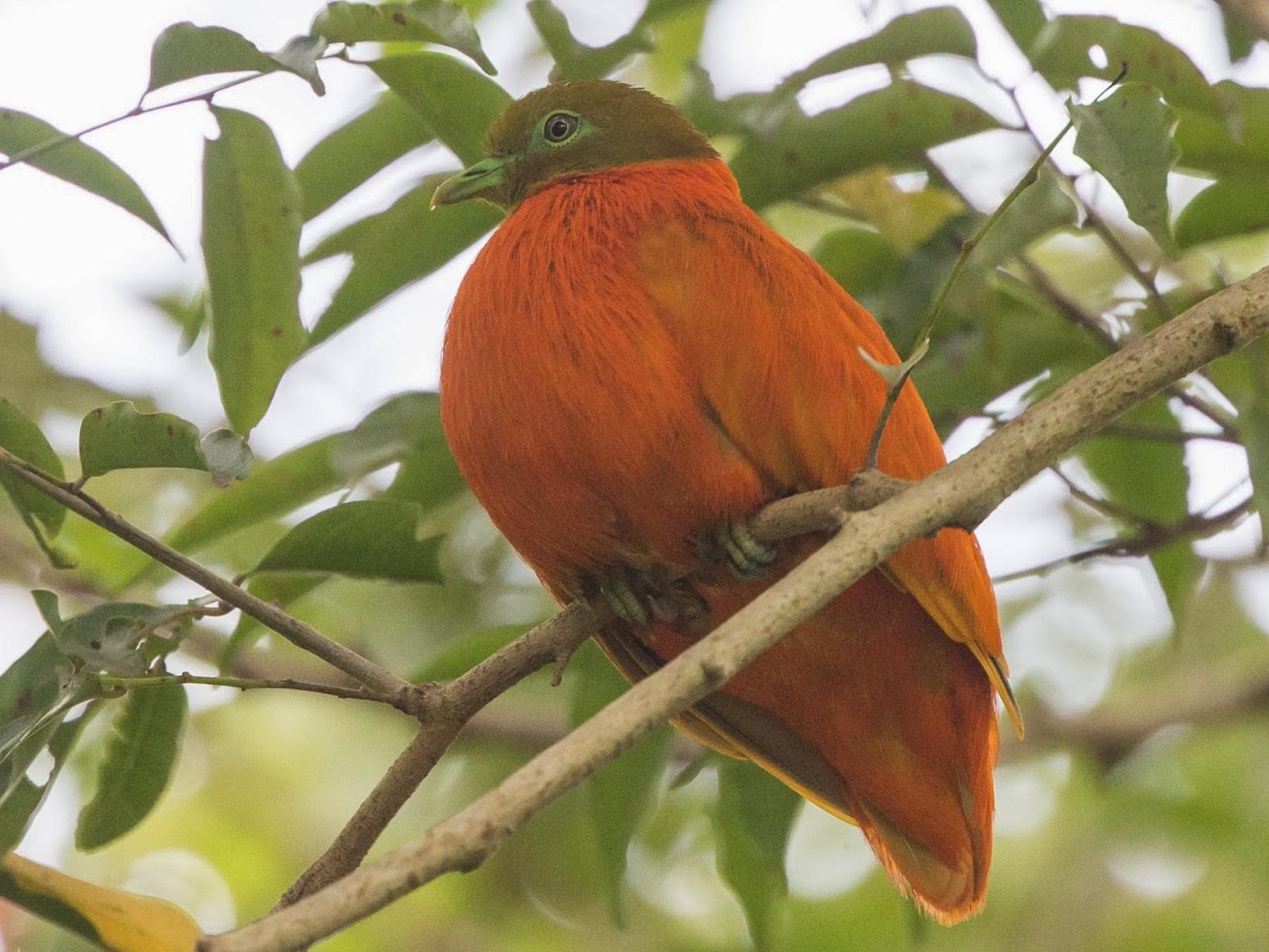 Orange Dove - Simon Colenutt