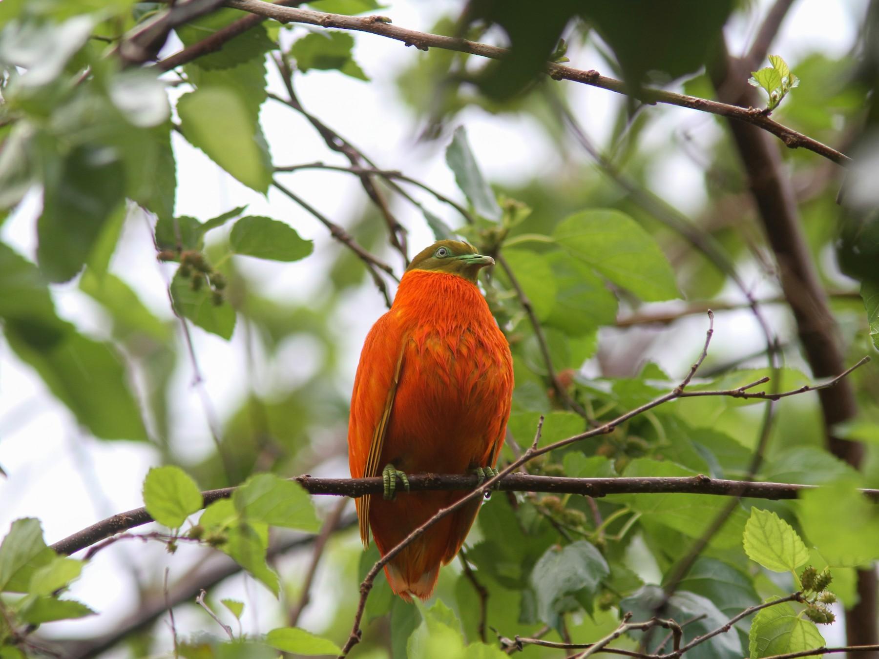 Orange Dove - Guy Poisson